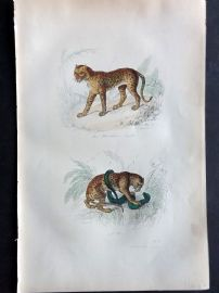 Buffon 1857 Antique Hand Col Print. Panther, Ounce Cat